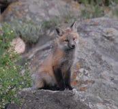 близкий красный цвет лисицы вверх по детенышам Стоковое Фото