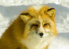 близкий красный цвет лисицы вверх стоковая фотография rf
