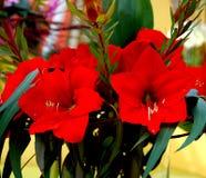 близкий красный цвет орхидей вверх Стоковое фото RF