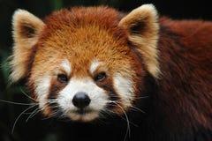 близкий красный цвет панды вверх Стоковые Фотографии RF