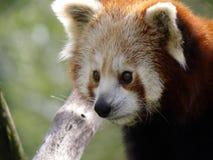 близкий красный цвет панды вверх Стоковое фото RF