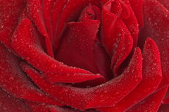 близкий красный цвет поднял Стоковые Изображения