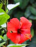 близкий красный цвет цветка вверх Стоковое Фото