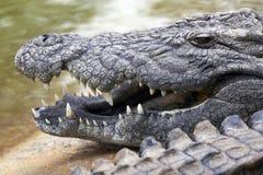 близкий крокодил вверх Стоковые Фото