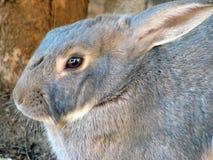 близкий кролик вверх Стоковое Изображение RF