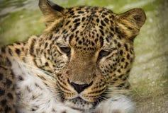 близкий леопард вверх Стоковые Изображения