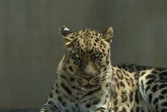 близкий леопард вверх Стоковые Изображения RF