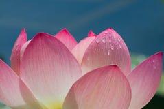 близкий лотос цветка вверх Стоковое Изображение RF