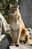близкий львев кугуара смотря величественную гору вверх Стоковое Изображение RF