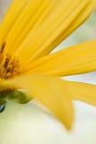 близкий местный солнцецвет вверх Стоковое Изображение RF