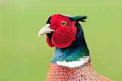 близкий мыжской фазан вверх Стоковое Изображение RF