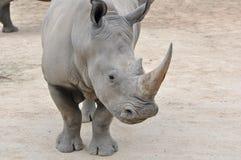 близкий носорог вверх по белизне Стоковая Фотография