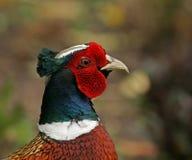 близкий общий фазан вверх Стоковая Фотография