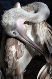 близкий пеликан вверх Стоковые Фотографии RF