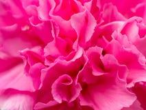 близкий пинк цветка вверх стоковое изображение