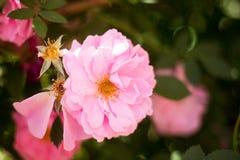 близкий пинк цветка вверх Стоковое Изображение RF
