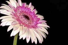 близкий пинк gerbera цветка вверх Стоковое Изображение RF