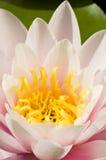 близкий пинк ninfea вверх по желтому цвету Стоковая Фотография RF