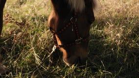 Близкий поднимающий вверх взгляд головы лошади есть drass в замедленном движении раннего утра видеоматериал