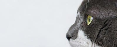 Близкий поднимающий вверх взгляд красивого зеленого cat& x27; глаз s Серый и белый кот на белой предпосылке Красивое текстурирова стоковые фото