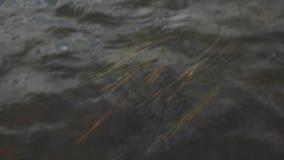 Близкий поднимающий вверх взгляд сверху для засорителя Желтого моря пошатывая под темной водой потока footage Трава растя под вод акции видеоматериалы