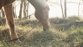 Близкий поднимающий вверх взгляд graced травы спокойной лошади обгрызая на лужайке в деревянном замедленном движении акции видеоматериалы