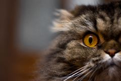 Близкий поднимающий вверх портрет милого серьезного серого кота с большими оранжевыми глазами смотря камеру, половину стороны кот стоковые изображения rf