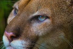 Близкий поднимающий вверх портрет пумы или кугуара с голубыми глазами стоковая фотография