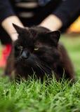 Близкий поднимающий вверх портрет tomcat Chantilly Тиффани кладя на траву на  стоковые фото