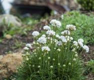 Близкий поднимающий вверх пук белого зацветая maritima Armeria, обыкновенно известный как хозяйственность, хозяйственность моря и стоковые фото