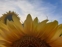 Близкий поднимающий вверх солнцецвет стоковое изображение rf