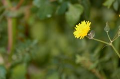 Близкий поднимающий вверх цветок одуванчика в Аликанте Испании стоковые фото