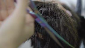 Близкий поднимающий вверх groomer режет волосы на наморднике небольшая милая собака с ножницами Прелестная собака в любимце парик видеоматериал