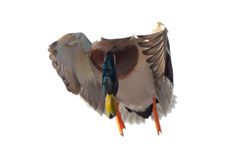 близкий полет утки вверх Стоковая Фотография RF