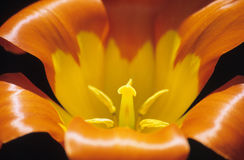 близкий померанцовый тюльпан вверх Стоковое Изображение RF