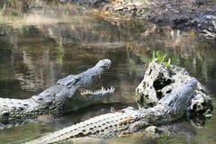 Близкий портрет крокодила Нила, niloticus крокодила, рта и зубов стоковые фотографии rf