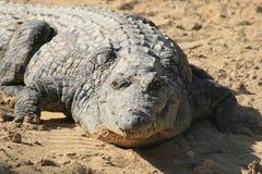 Близкий портрет крокодила Нила, niloticus крокодила, рта и зубов стоковая фотография