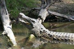 Близкий портрет крокодила Нила, niloticus крокодила, рта и зубов стоковая фотография rf