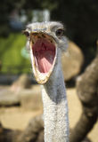 близкий портрет страуса вверх Стоковое Изображение