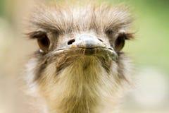 близкий портрет страуса вверх Стоковая Фотография