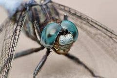 близкий придавать правильную формуый dragonfly стоковое изображение rf