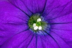 близкий пурпур петуньи вверх Стоковые Фотографии RF