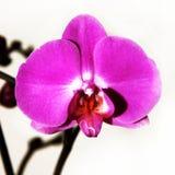 близкий пурпур пинка orichidee вверх Стоковое Изображение