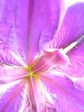 близкий пурпур радужки вверх Стоковые Изображения