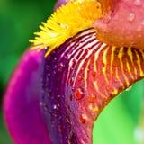 близкий пурпур радужки вверх Стоковая Фотография