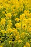 близкий рапс цветка вверх по желтому цвету Стоковые Фотографии RF