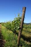 близкий рядок вверх по винограднику Стоковые Изображения