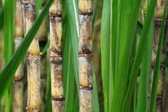 близкий сахарный тростник завода вверх Стоковое Изображение
