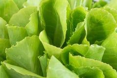 близкий свежий зеленый цвет вверх по овощу Стоковая Фотография RF