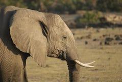близкий слон вверх Стоковое Изображение